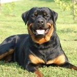 The German Rottweiler and American Rottweiler Explored