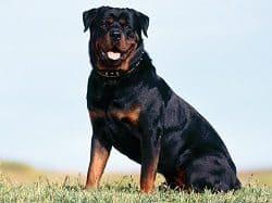 Big Rottweiler