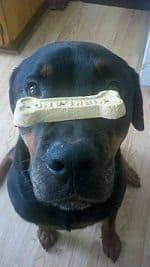 Rewarding a Rottweiler