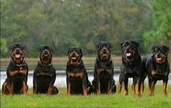 The Rottweiler, Also Known As…