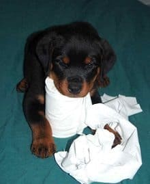 Rottweiler Potty Training