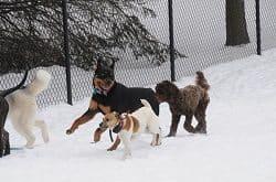 Rottweiler Socialization