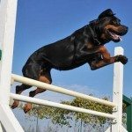 Rottweiler Training Guide – How To Properly Train A Rottweiler