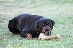 Rottweiler Food Aggression