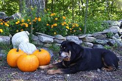 Rottweiler eats pumpkin