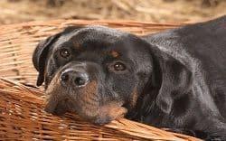 Rottweiler détendue