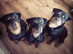 Rottweilers Waiting For Their Treat