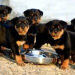 Rottweiler Puppy Adoption 101