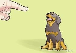 Rottweiler Stay Command