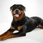 How To Teach Your Rottweiler to Stay