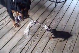 Tug Of War Rottweiler