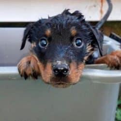 bathing rottweiler puppy