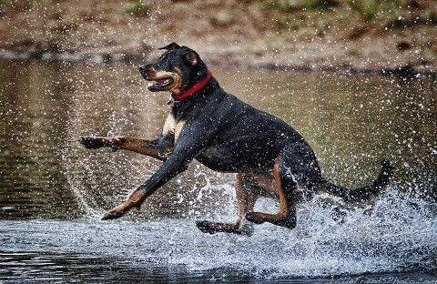 Rottweiler Outdoor Activities