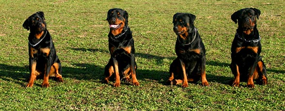 Check out our Rottweiler Training Guide>>